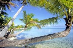 Palm trees hanging over tropical beach Tahaa French Society Islands